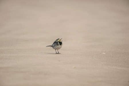 motacilla: Pied wagtail, Motacilla alba standing on the sand,