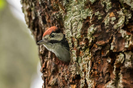 dendrocopos: Great spotted woodpecker, Dendrocopos major, juvenile, looking out of its nest in the side of a tree