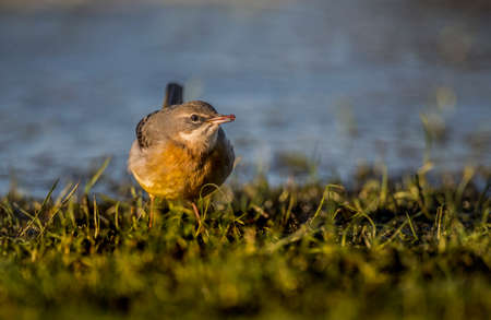cinerea: Grey Wagtail, Motacilla cinerea, standing on grass eating