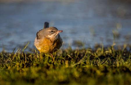 motacilla: Gris Lavandera, Motacilla cinerea, de pie en la hierba comer