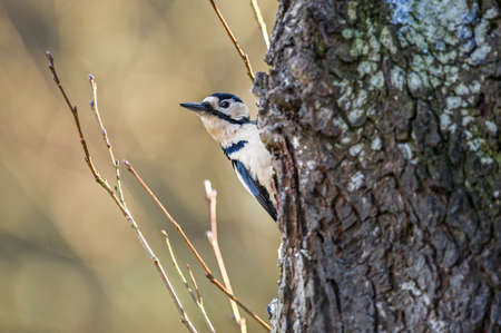 dendrocopos: Great spotted woodpecker, Dendrocopos major, perched on the side of a tree