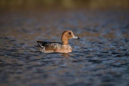 anas: Wigeon, Anas penelope, swimming on a pond Stock Photo