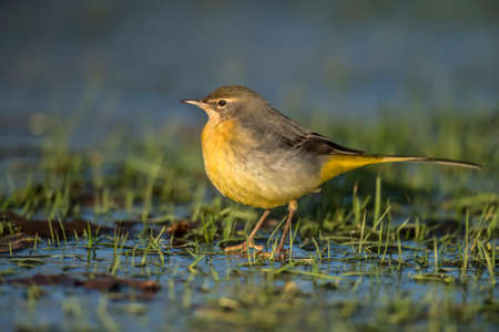 cinerea: Grey Wagtail, Motacilla cinerea, standing on icy grass looking for food Stock Photo