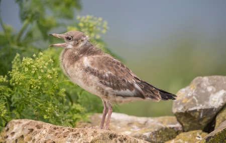 ridibundus: Black-headed gull, Chroicocephalus ridibundus, standing on a rock, close up, squawking