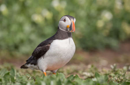 arctica: Puffin, Fratercula arctica, standing looking curious
