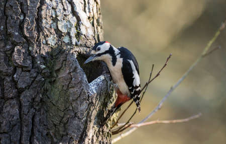 dendrocopos: Great spotted woodpecker, Dendrocopos major, perched on the side of a tree, looking into a hole