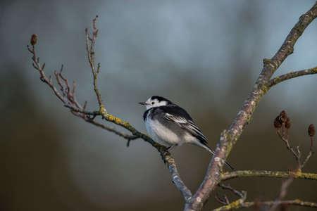 motacilla: Lavandera Pied, Motacilla alba posado en la rama de un árbol Foto de archivo