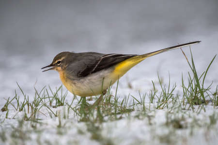 tweeting: Grey Wagtail, Motacilla cinerea, standing on snow, tweeting