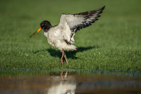 deformed: Oystercatcher, Haematopus ostralegus, with open wings and a deformed beak Stock Photo