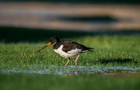 deformity: Oystercatcher, Haematopus ostralegus, on the grass, in a puddle of water