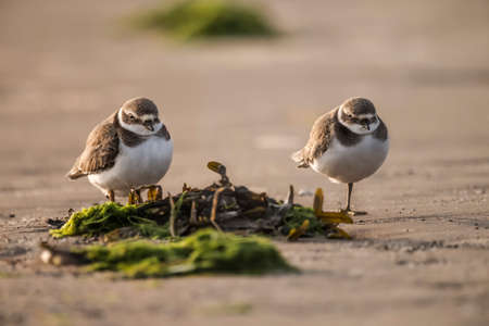 ringed: Ringed plovers standing on the beach Stock Photo