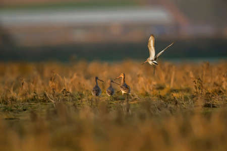 wader: Black-tailed godwits, Limosa limosa, on grassland by the sea