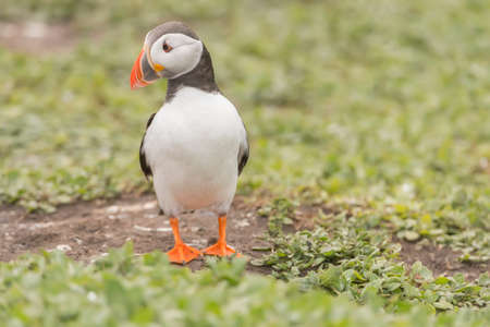 arctica: Puffin, Fratercula arctica, standing on the grass