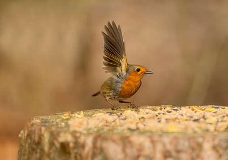 tree stump: Robin flying from a tree stump Stock Photo