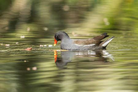 moorhen: Moorhen, Gallinula chloropus, on a pond
