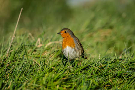 erithacus: Robin on the grass Stock Photo