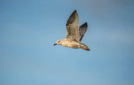 larus: Herring gull, Larus argentatus, flying in a blue sky Stock Photo