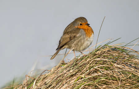 grass close up: Robin perched on a pile of grass, close up