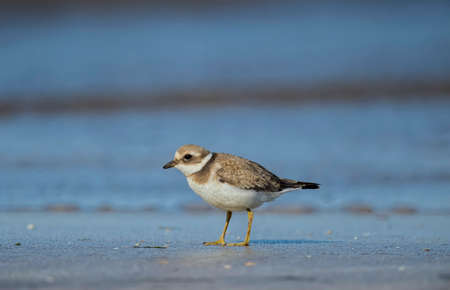 plover: Ringed plover on the sand Stock Photo