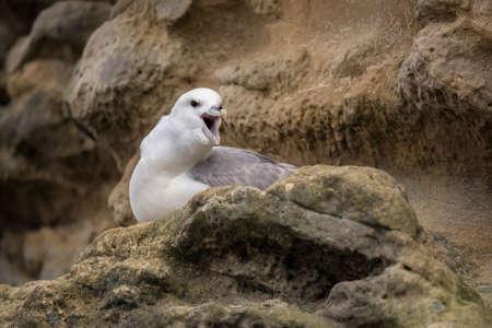 the ornithology: Fulmar, Fulmarus glacialis, on a cliff, squawking