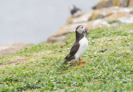 fratercula: Puffin, Fratercula arctica, standing on the grass with a beak full of Sand eels Stock Photo