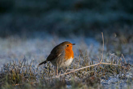 erithacus: Robin perched on frozen grass Stock Photo