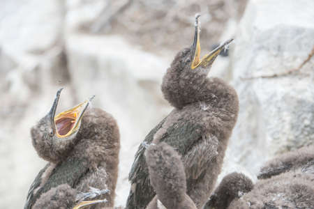 juveniles: European Shag, Phalacrocorax aristotelis, juveniles squawking Stock Photo