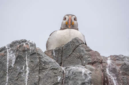 arctica: Puffin, Fratercula arctica, sitting on the edge of some rocks looking forwards and down