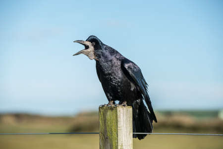 corax: Rook on a post