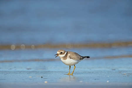 tweeting: Ringed plover tweeting on the beach