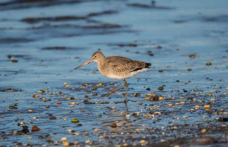 the ornithology: Black-tailed godwit, Limosa limosa, on the shoreline