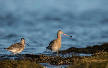 wader: Black-tailed godwits, Limosa limosa, on the shoreline