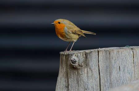 Robin perched on a tree stump Standard-Bild