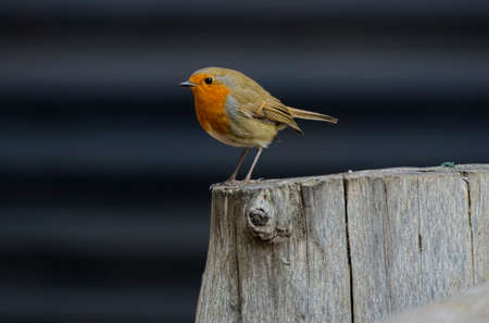 Robin perched on a tree stump 版權商用圖片