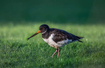 deformity: Oystercatcher, Haematopus ostralegus, with a deformed beak, close up on the grass