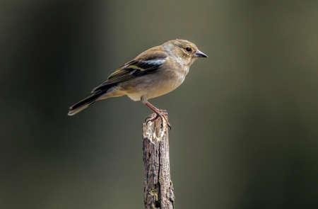 chaffinch: Chaffinch, Fringilla coelebs, perched on a branch