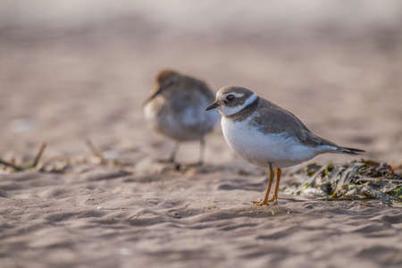 ringed: Ringed plover standing on the sand