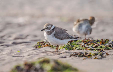 plover: Ringed plover standing on the sand