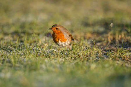 erithacus: Robin on icy grass Stock Photo