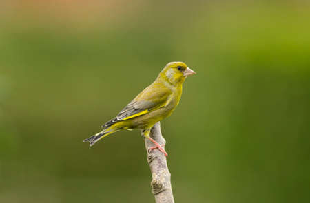 greenfinch: Greenfinch, Carduelis chloris, on a branch