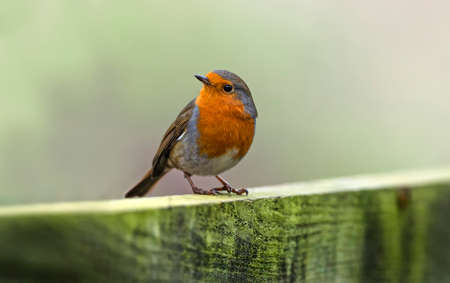 erithacus: Robin perched on a fence