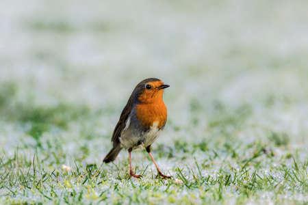 robin: Robin on frozen grass