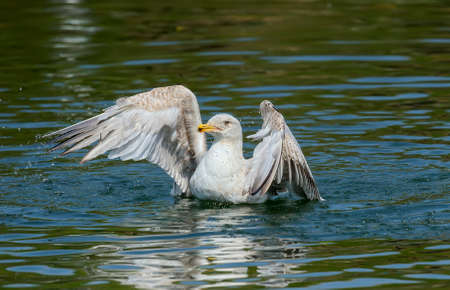 Herring gull, Larus argentatus, taking off from the sea, close up