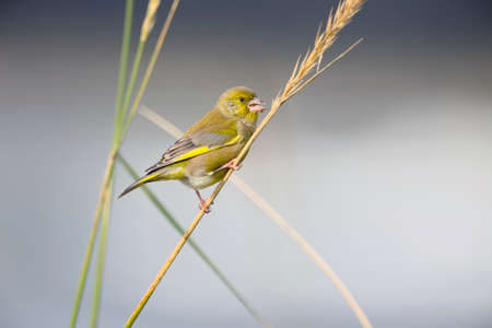 perched: Greenfinch, Carduelis chloris, perched on a reed Stock Photo