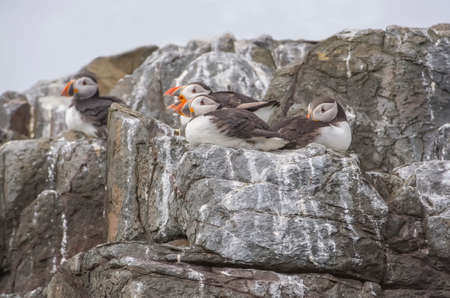 edge of cliff: Puffins, Fratercula arctica, sitting on some rocks at the cliff edge Stock Photo