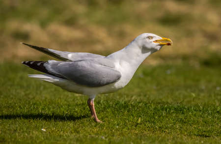 grass close up: Herring gull, Larus argentatus, on the grass, close up