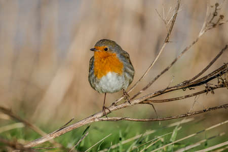 perched: Robin perched on dry grasses Stock Photo