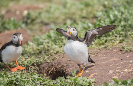 burrow: Puffin, Fratercula arctica, about to fly from beside its burrow
