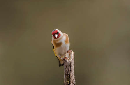 goldfinch: Goldfinch, Carduelis carduelis, perched on a branch