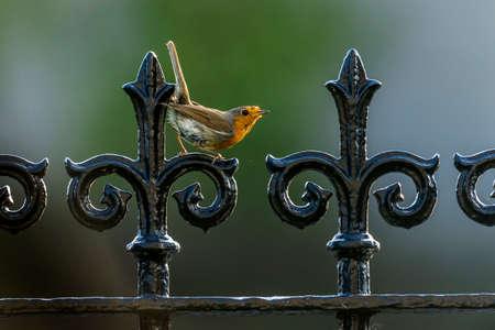 displaying: Robin on railings displaying